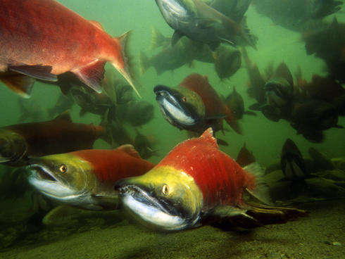 Sockeye salmon migration