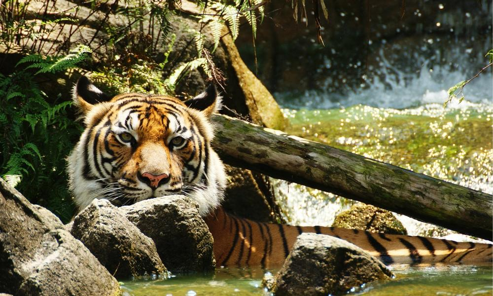 Indochinese tiger in the water