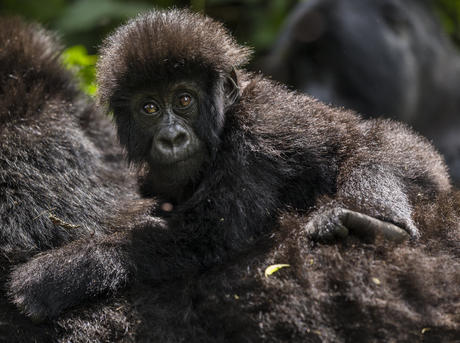 A young gorilla in the Democratic Republic of Congo