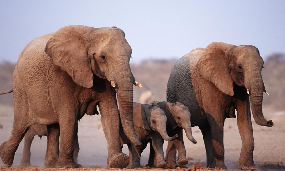 Elephants 108954