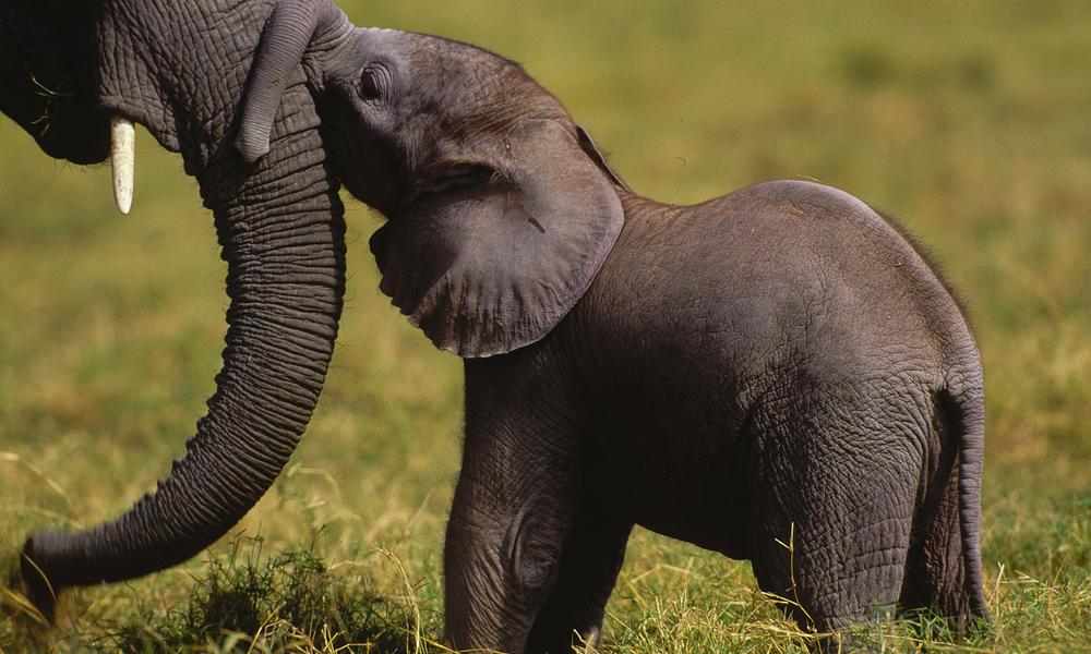 Elephant_and_calf_47780