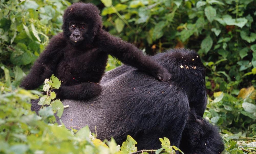 Gorillas 51146