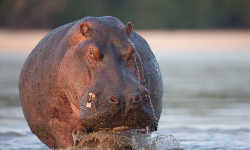 a hippo in water