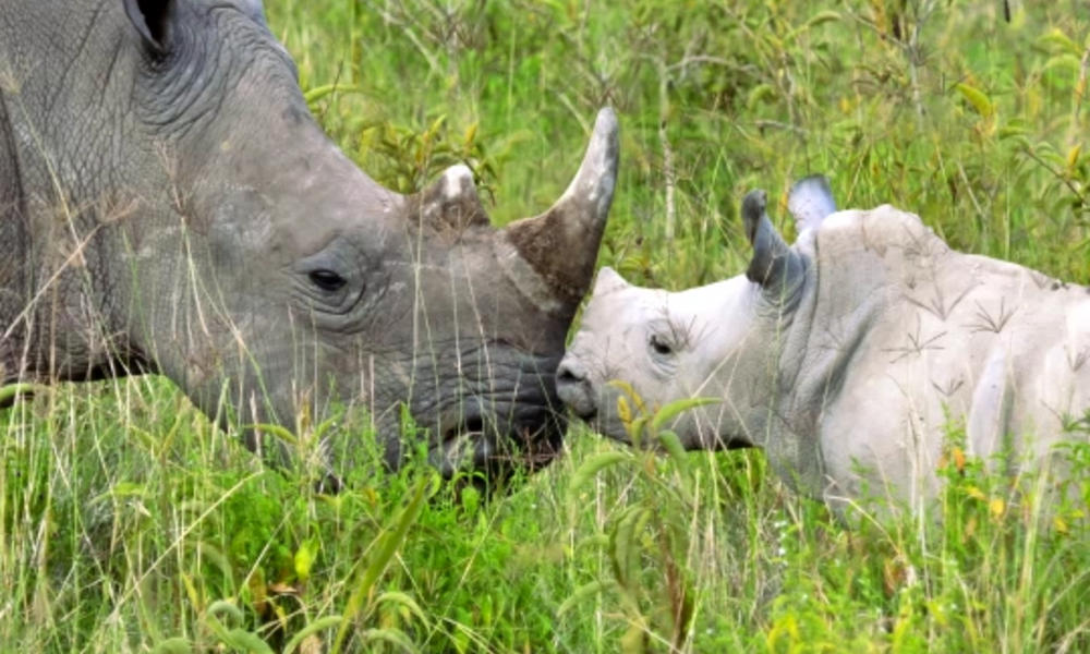 rhino mother and calf touching noses