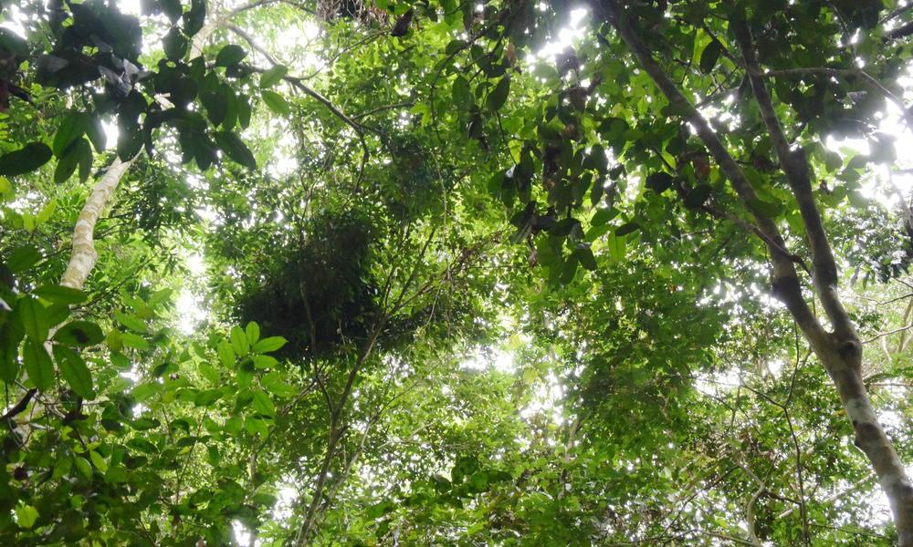 A bonobo nest in the trees of Salonga National Park