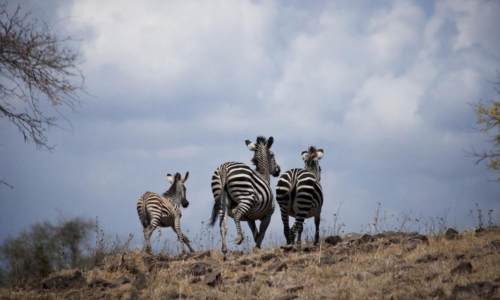 Zebras in San River Selous