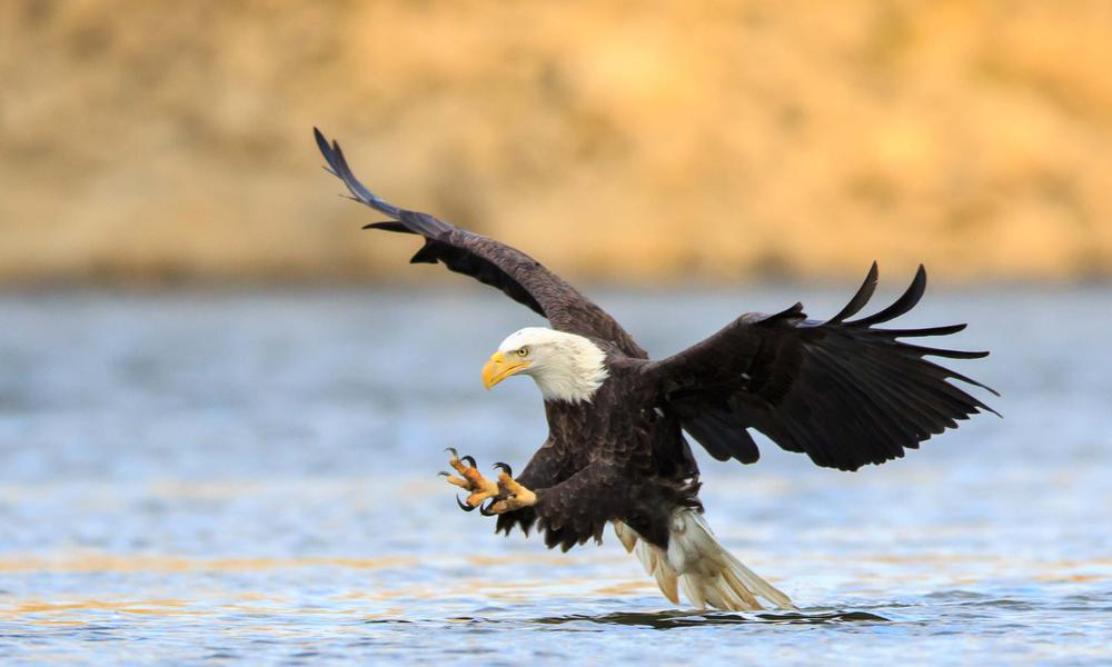Bald eagle shutterstock 180150821
