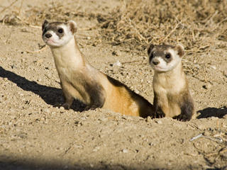 Black Footed Ferret Story 287236