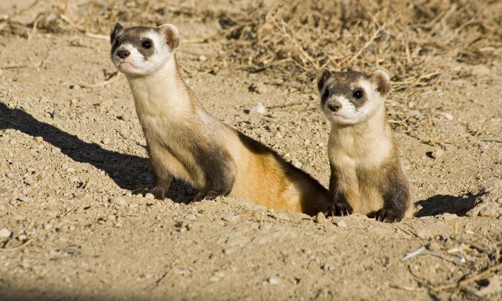 Black footed ferret 287236