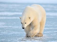 Polar bear shutterstock 97945106