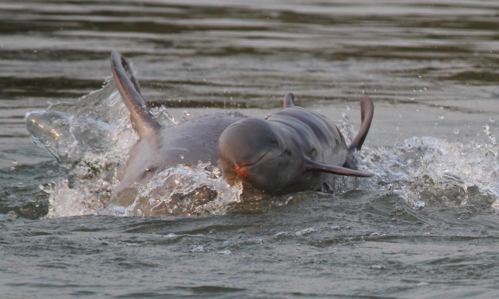 Franko petri dolphin baby 2