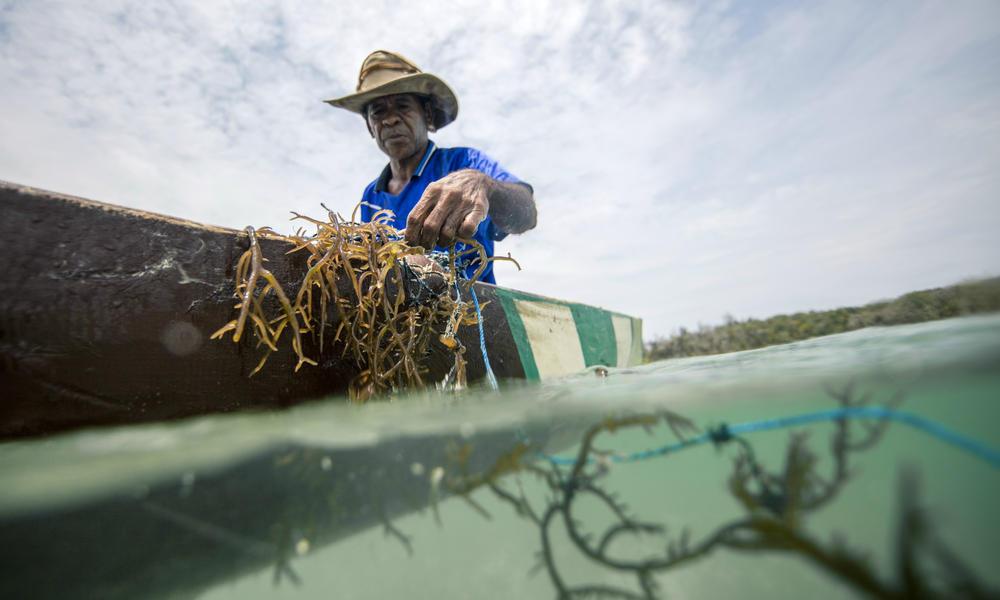 Farming Seaweed