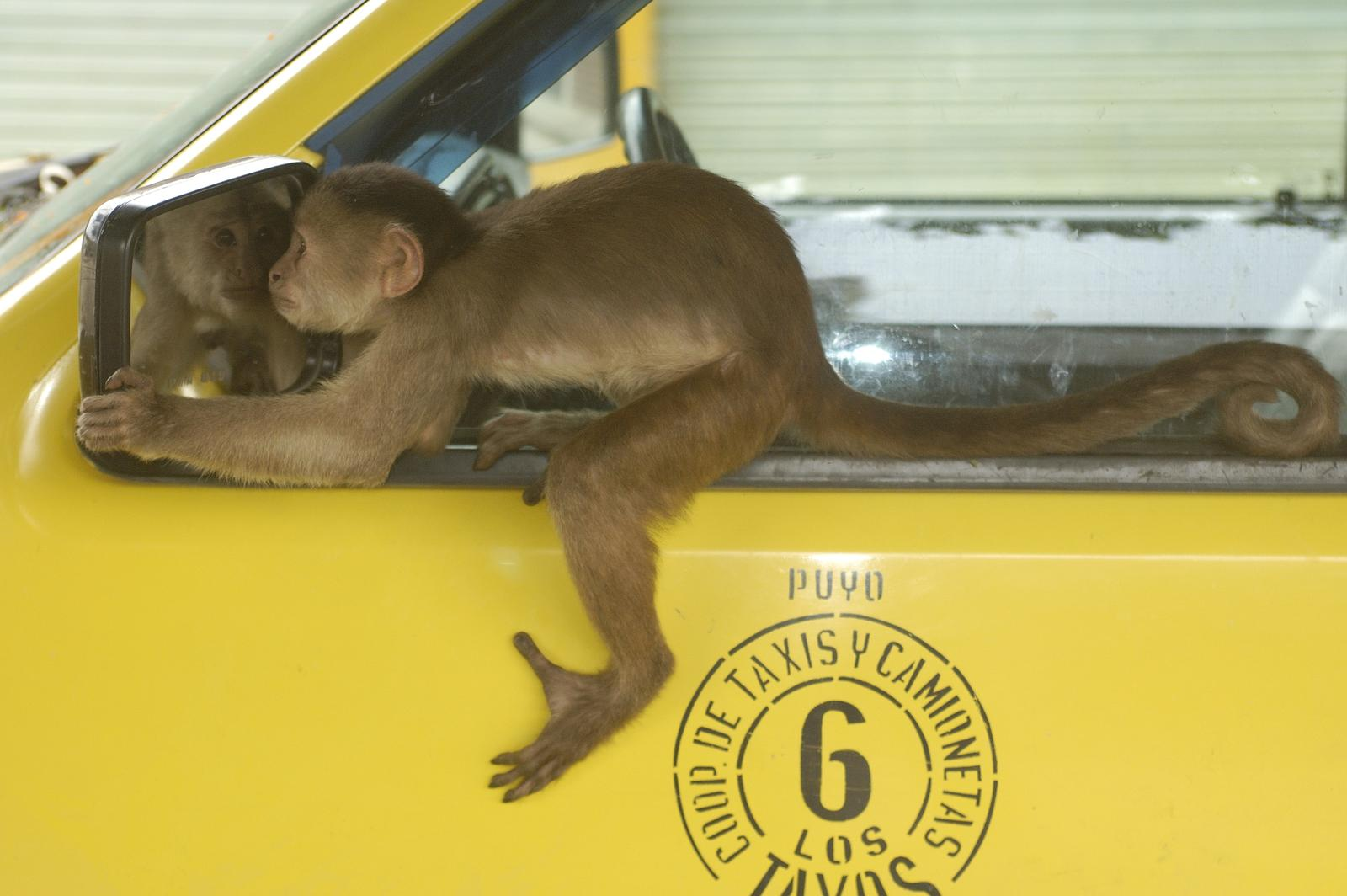 Monkey looking in taxi mirror.