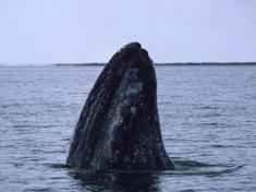 Web 8233gray whale circle