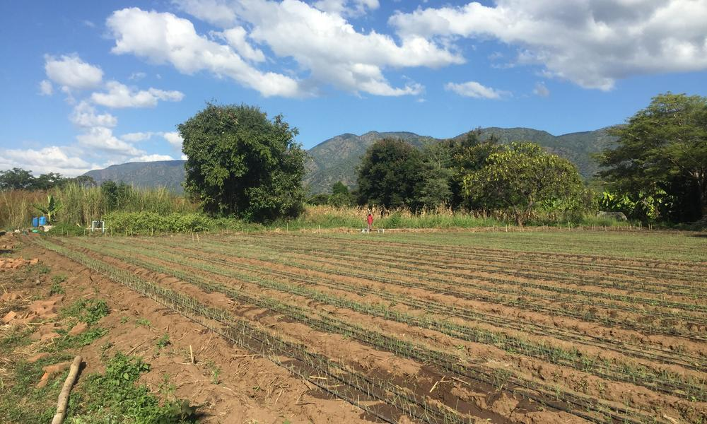 Throughout the wetlands of the Usangu landscape, smallholder farmers can generate profits on small plots by growing horticulture crops such as onions, but efficient irrigation and water governance must both be optimized to achieve sustainability. The Tanz