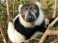Madagascar lemur magfa2016