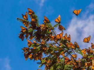Monarchs in the trees in Mexico