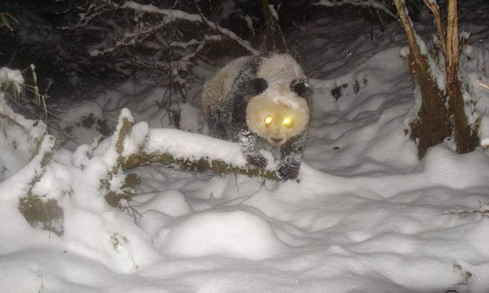 Camera trap image of giant panda