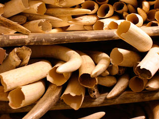 ivory tusks piled up