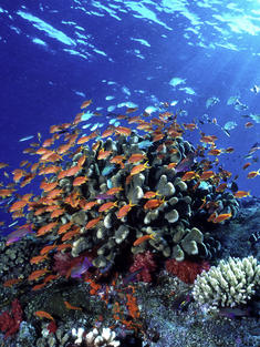 Swarms of anthias