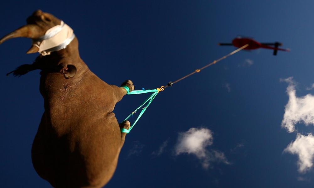 Black rhino being airlifted to a safer area