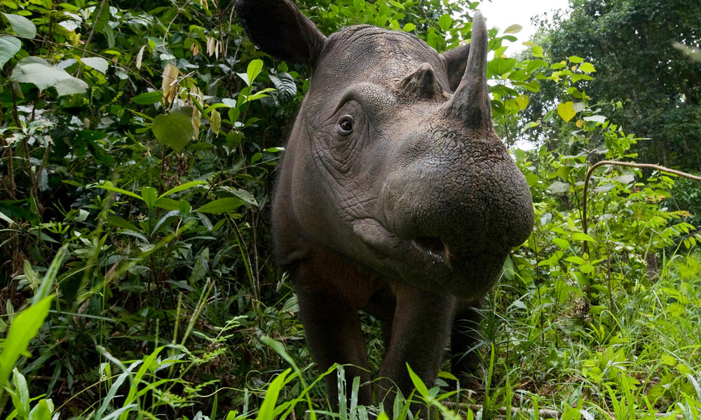 Head portrait of a Sumatran rhino