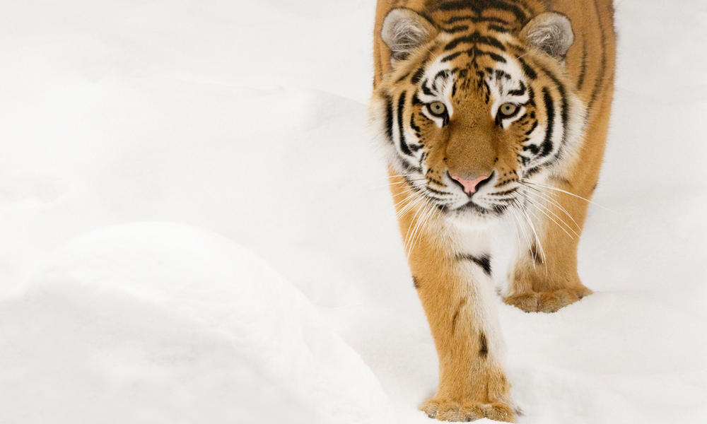 Siberian tiger walking in snow