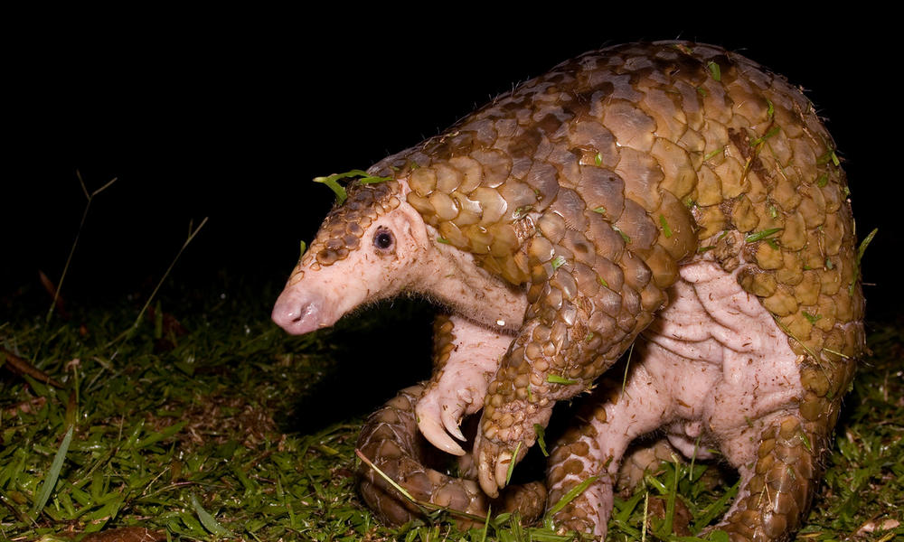A large Malayan Pangolin smells the for signs of danger