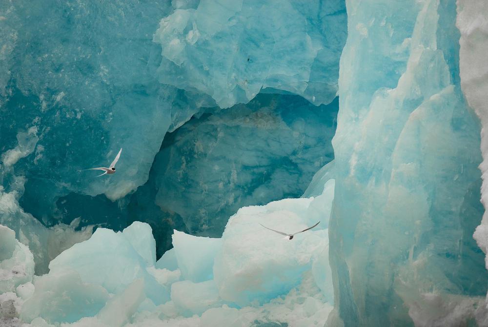 Arctic terns flying