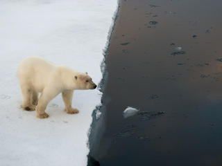 Polar bear on edge of an ice floe