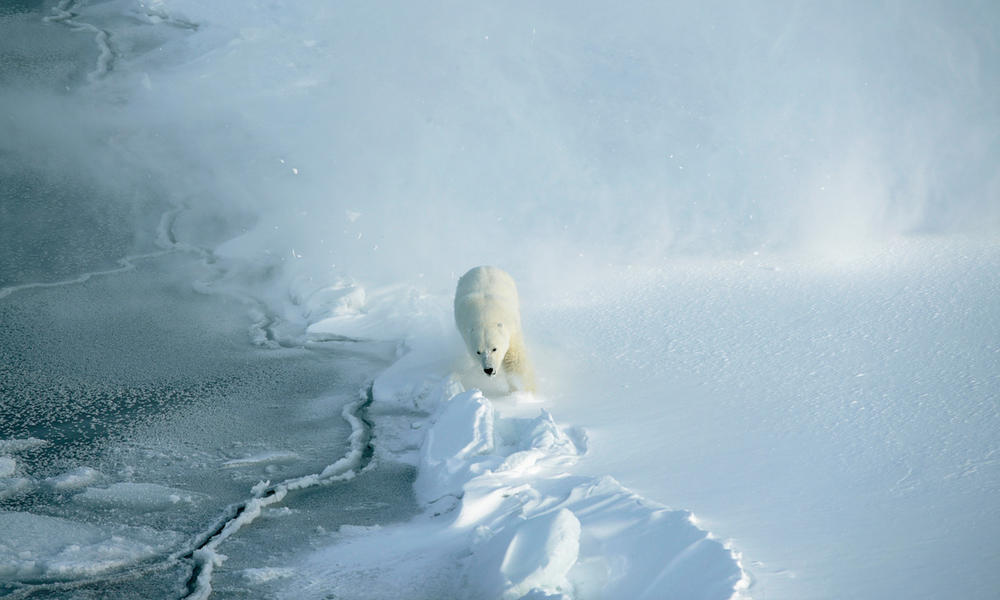 A polar bear walking in Svalbard, Norway.