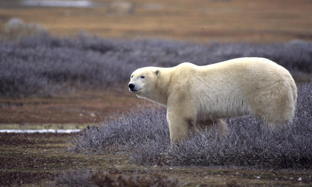 Polar bear on summer tundra