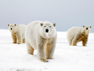 Polar bear with two cubs