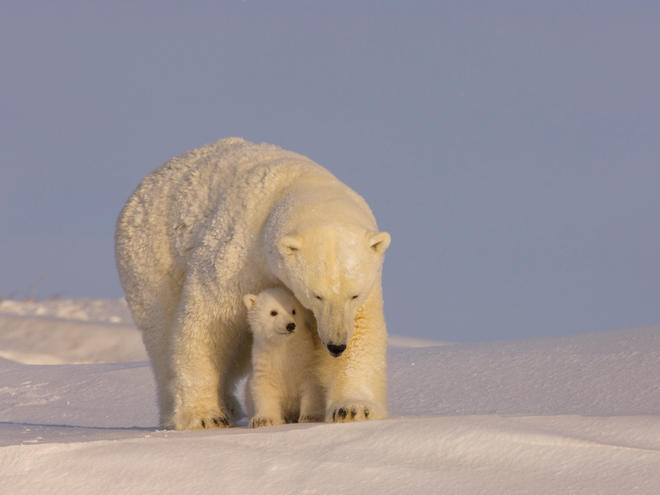 Polar bear cub with her sow