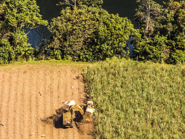 A farmer harvesting sugarcane