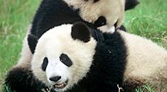 Two Giant Pandas