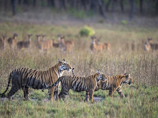 3 tigers in India