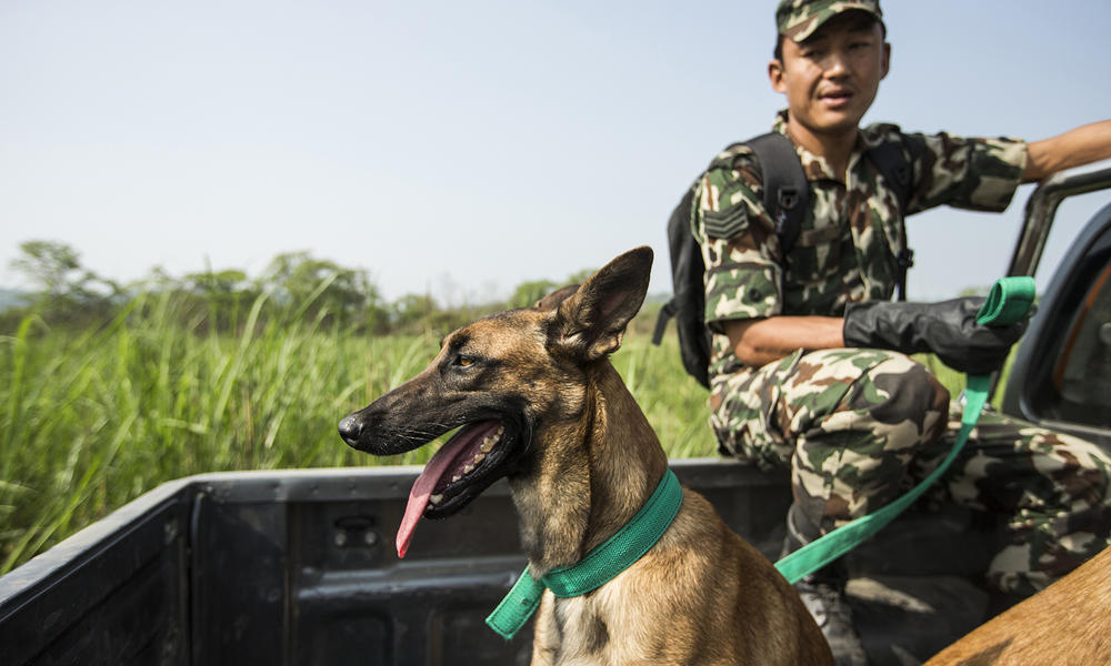 Sniffer dogs working with park rangers of Nepal