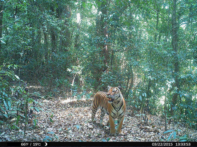camera trap of a tiger