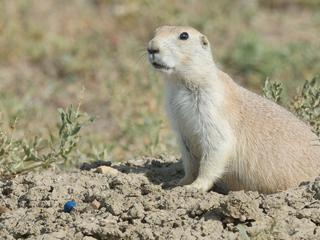 a prairie dog sits next to bait