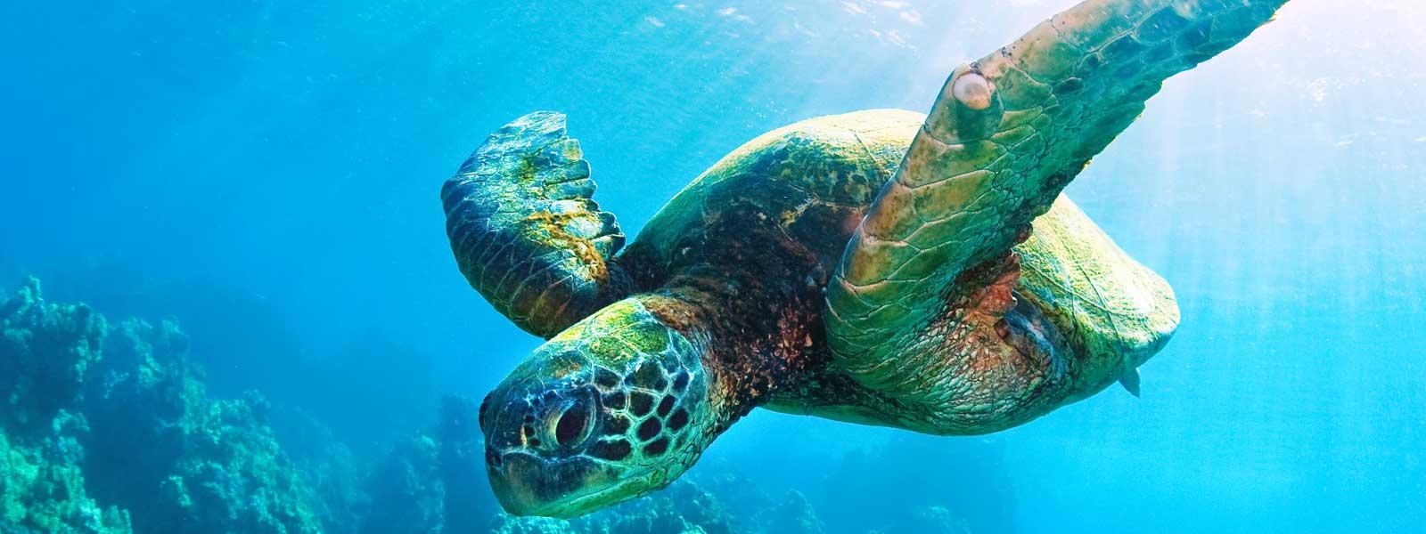 sea turtle species wwf