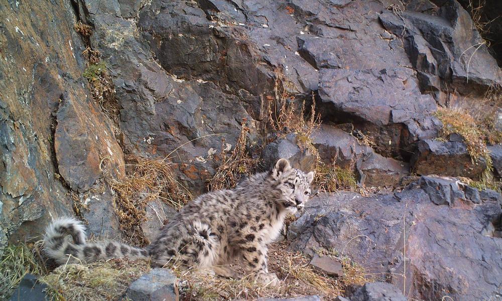 snow leopard blends into landscape