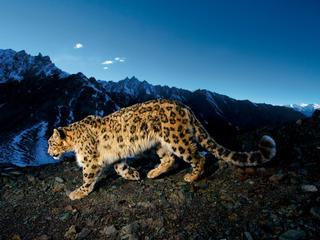 a snow leopard walks along mountain pass