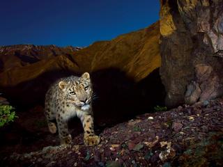 a snow leopard on a mountain