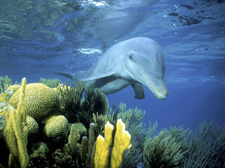 bottlenose dolphin swimming in Belize