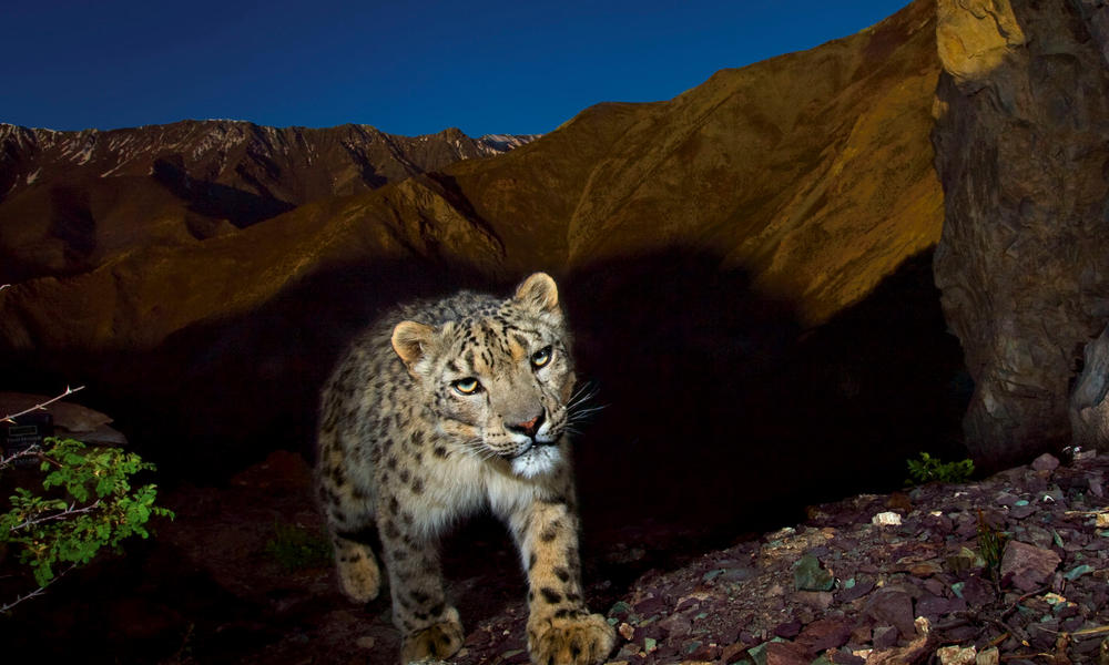 a snow leopard on a mountain