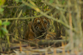 Female Bengal tiger resting in the mangroves