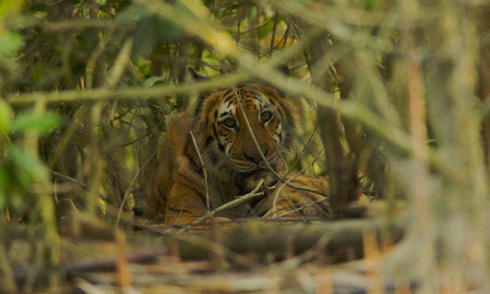 Tiger resting in the mangroves