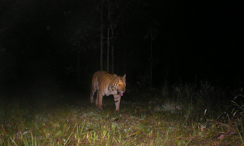 Tiger walking in the Mondulkiri Protected Forest at night