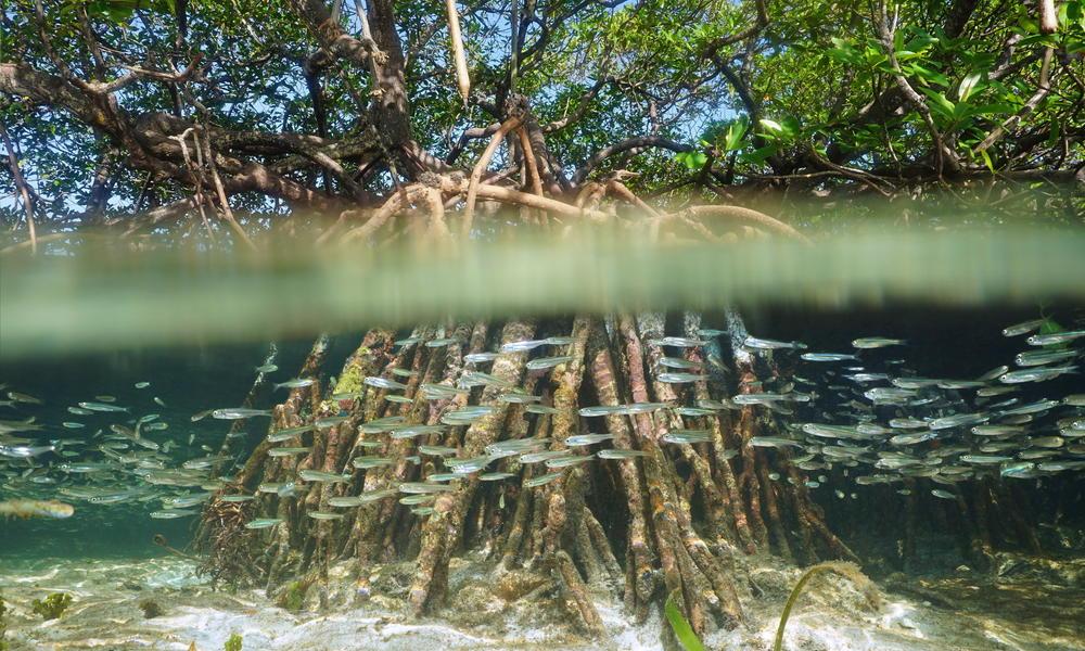 A mangrove